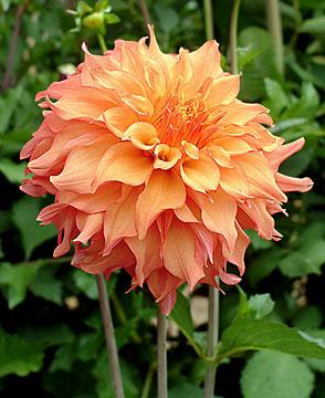 Dahlia for bouquet