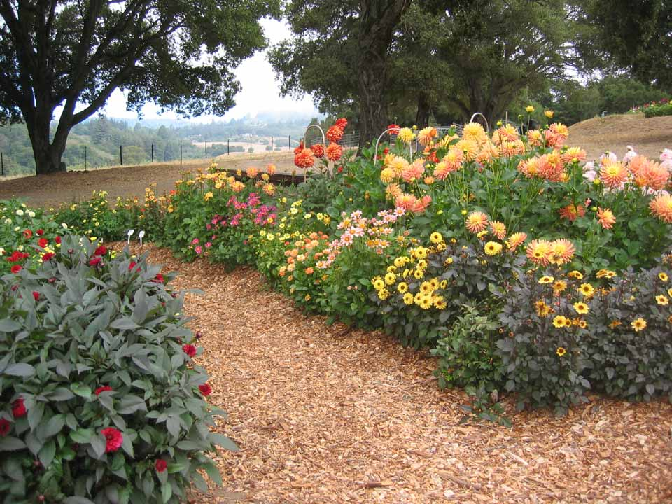 Click to see examples of dahlias in borders and containers!